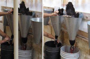 Обескровливание туши курицы перед ощипыванием