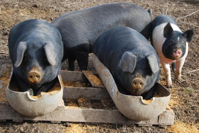 Свиньям полезен жом