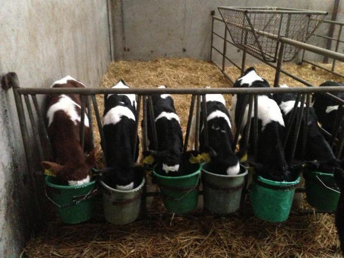 Стружка свеклы - хороший корм для коров