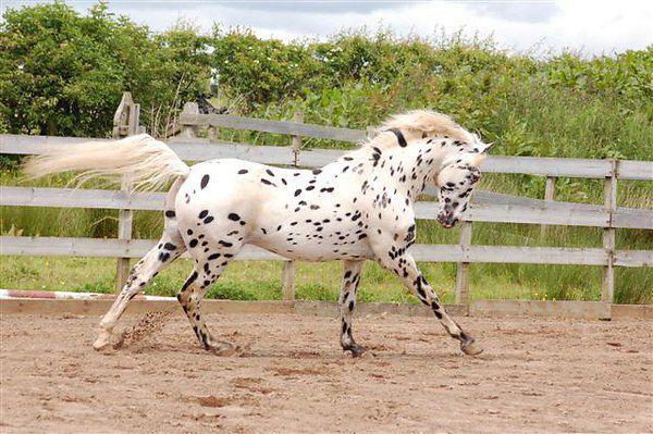 Рост чубарых лошадей обычно составляет 150-156 см