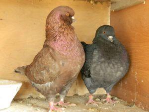 Самец и самка породы мясной кинг