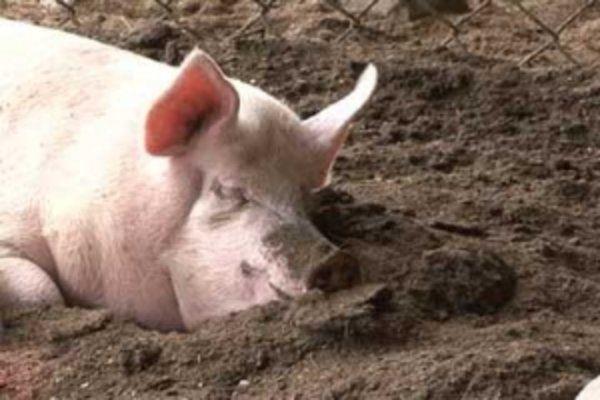При перегреве свинья будет стараться найти источник прохлады