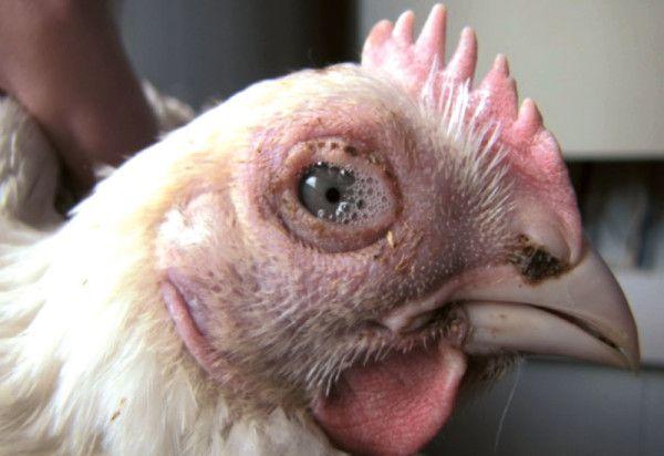 Слезящиеся глаза курицы при сальмонеллезе