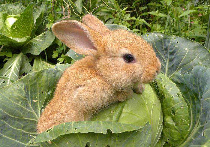 Большое количество капусты плохо влияет на пищеварение кролика