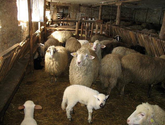 Содержание овец в помещении
