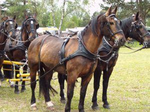 Старая ольденбургская порода, племенные жеребцы