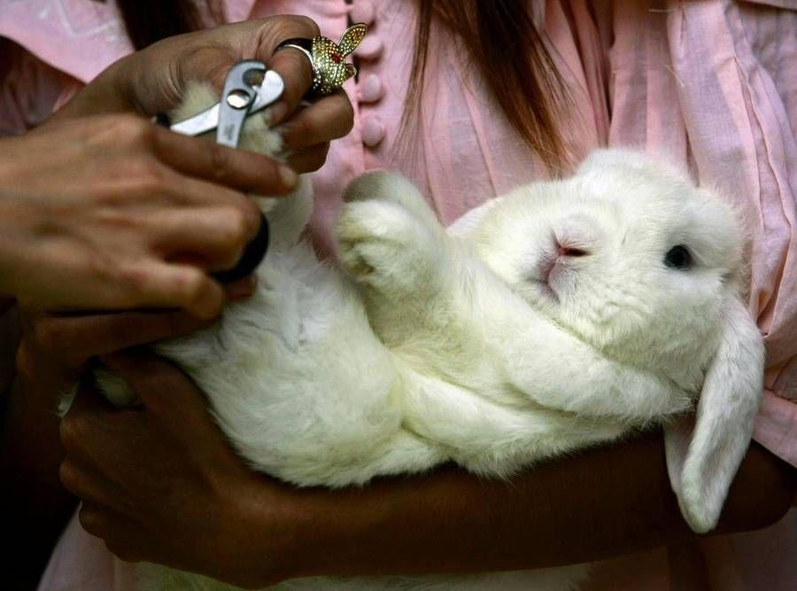 Стрижка когтей у кролика