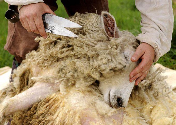 Стрижка овец ножницами