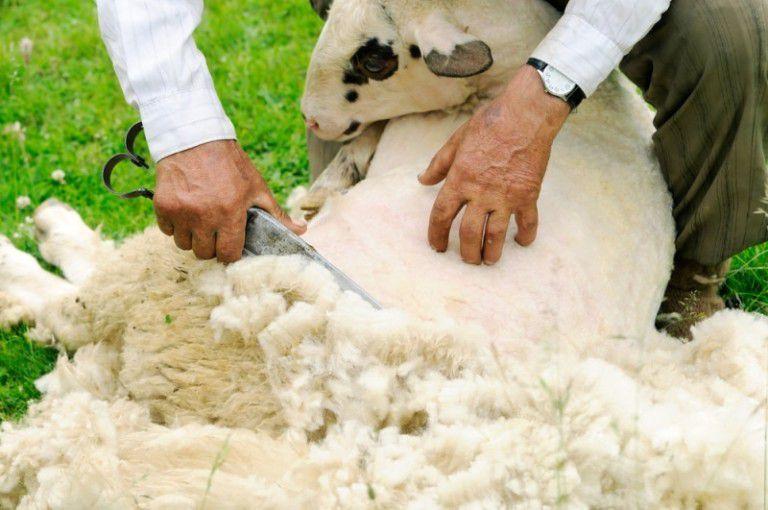 Стрижку овец проводят 2-3 раза в год