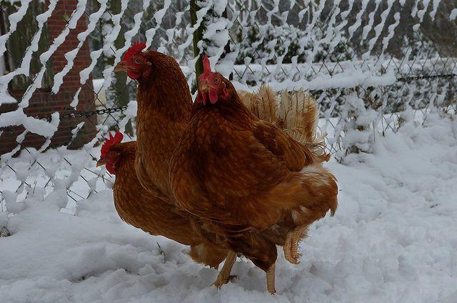 С помощью светового дня и тепла в курятнике, птицы могут не заметить прихода зимы