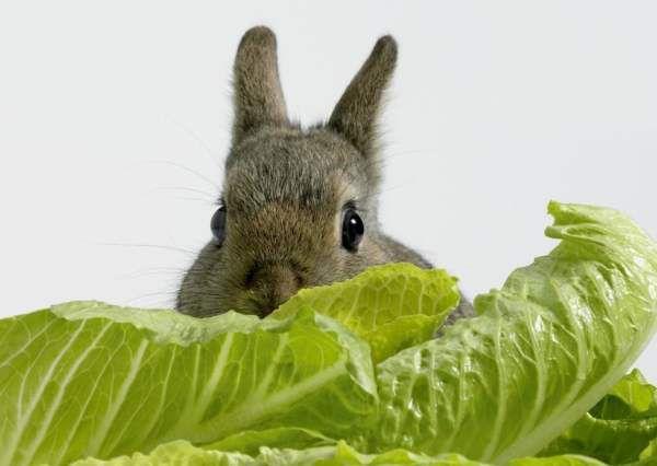Требующиеся кролям витамины содержатся в зеленом корме и сочных овощных кормах
