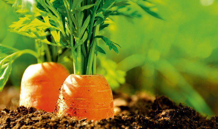 Удобряют навозом и грядки для моркови
