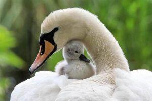 У лебедят, как и у всех малышей, особый рацион