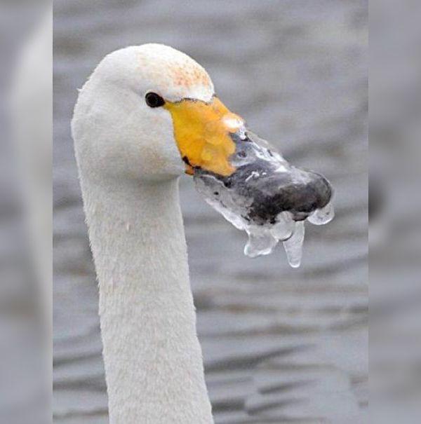 От сильного мороза у лебедя замёрз клюв
