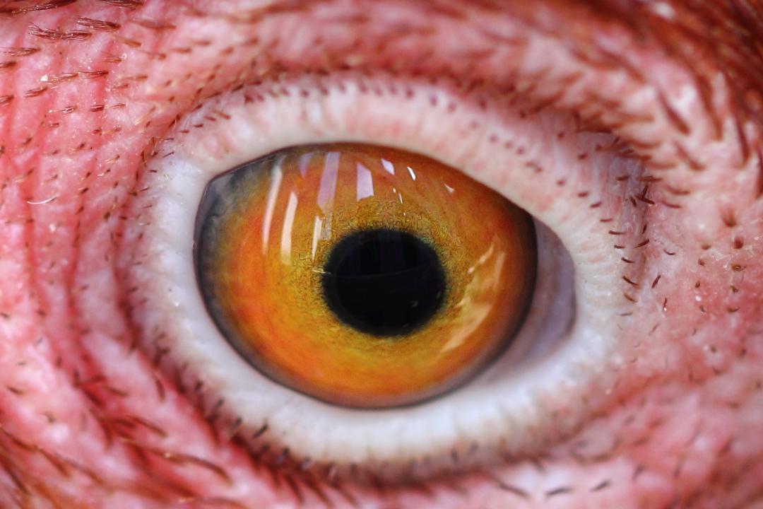 У молодой курицы ясные глаза