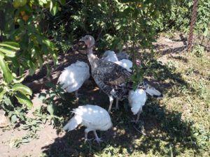 Наседка хорошо заботится о своих птенцах