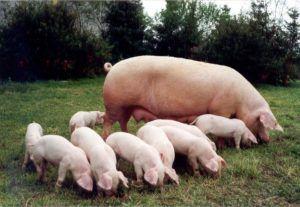 Особенности искусственного осеменения свиней