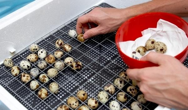 Выкладка яиц в инкубатор