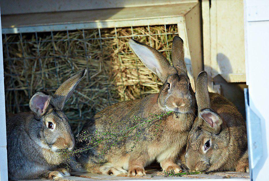 Питание кроликов должно быть качественным и разнообразным