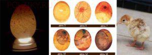 Развитие эмбрионов индюшат