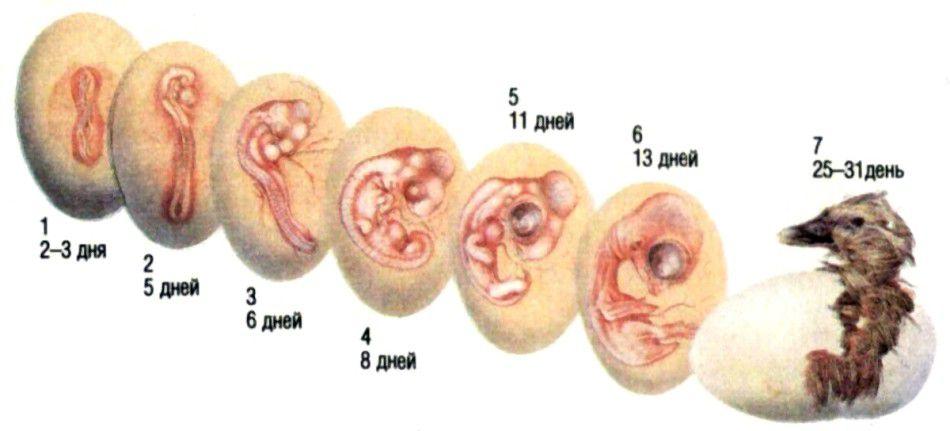 Развитие гусенка внутри яйца