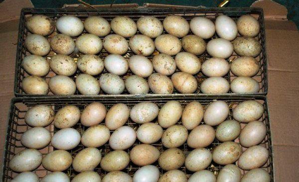 Отбор яиц мускусных уток