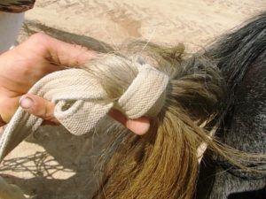 Подвязанный хвост лошади перед беременностью
