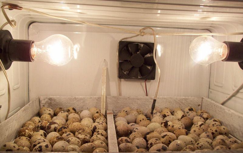 Яйца помещаются в инкубатор