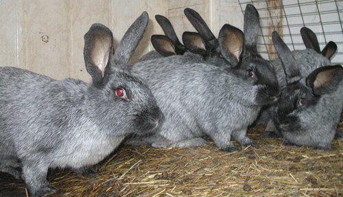 Сено и силос - полезное лакомство для кроликов
