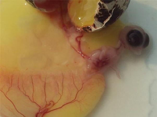 Разбитое яйцо с зародышем