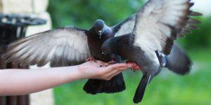 Домашние голуби