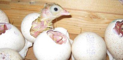 Массовое появление птенцов