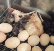 Вылупленные гусята в инкубаторе