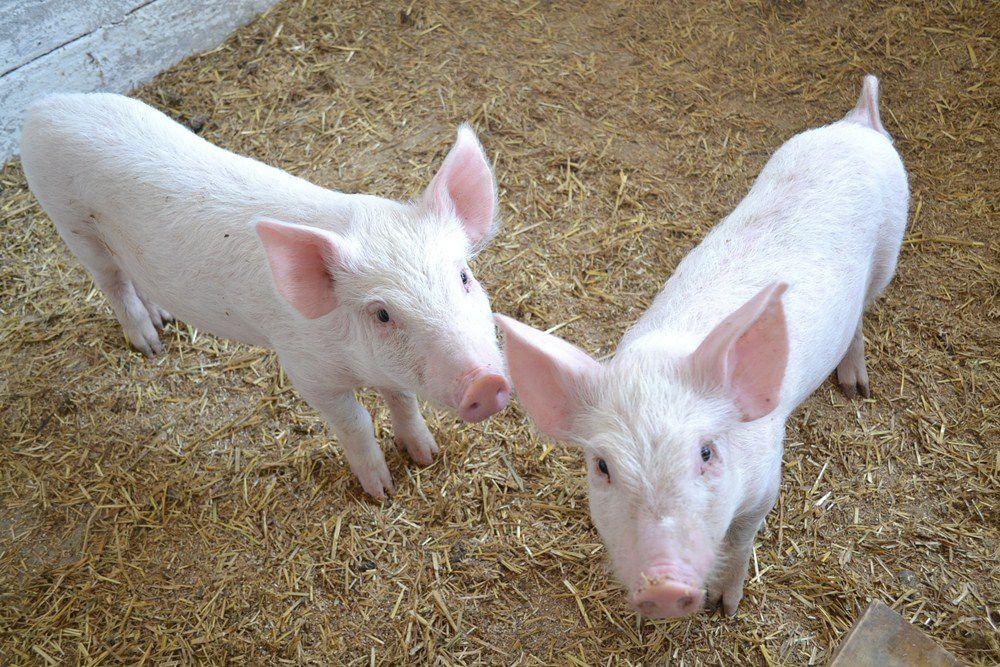 Молодые свиньи