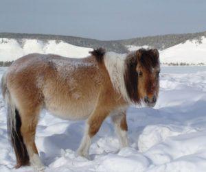 Мясо якутских лошадей традиционно используется как народное блюдо