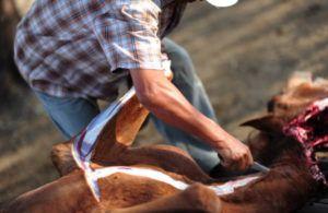 Убой лошади путем разреза в нижней части шеи