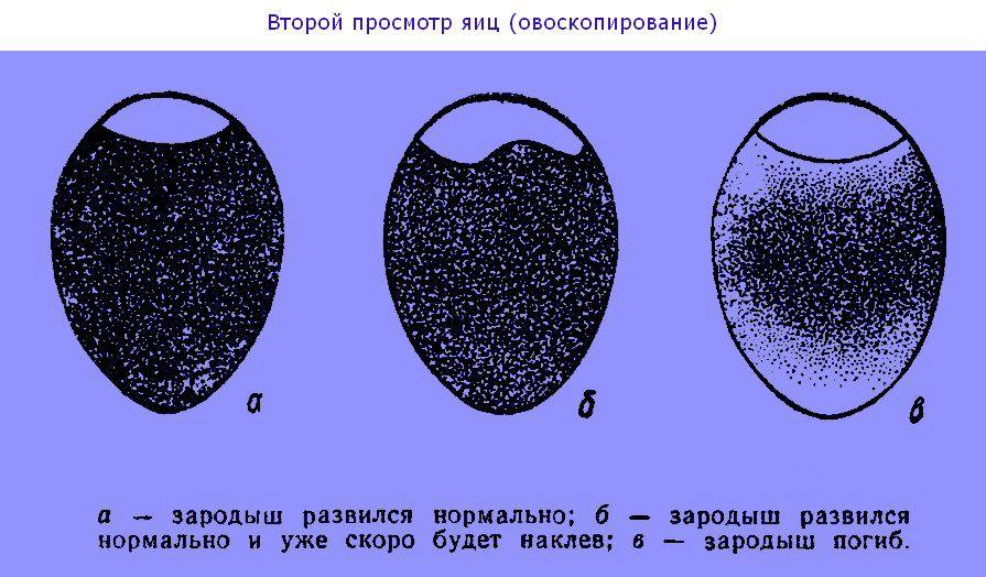 Финальное овоскопирование яиц индоуток