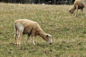 За месяц до забоя овцу нужно остричь