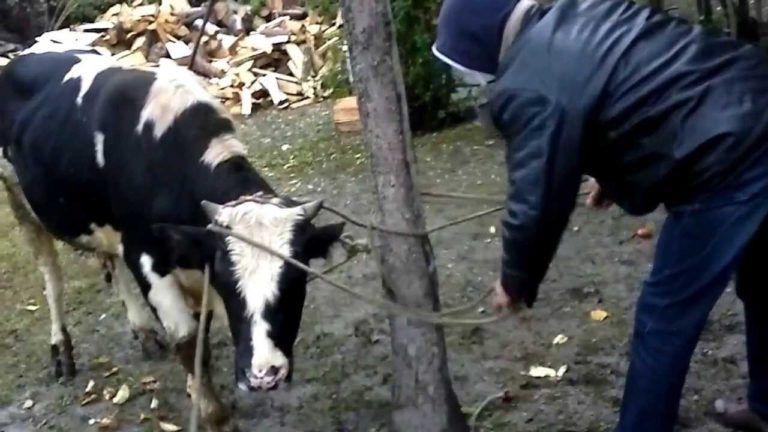Спросите толкователя к чему снится Убивать корову