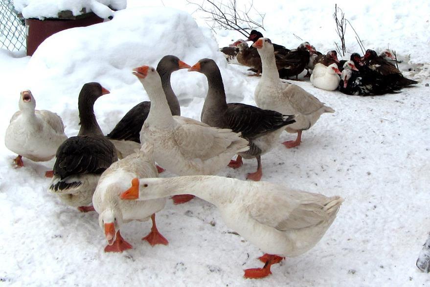 Гуси на прогулке зимой