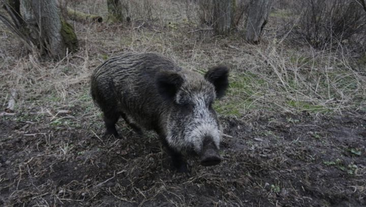 Хряк - самец свиньи