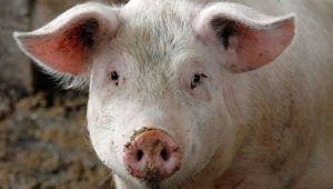 Упитанная свинья, подходящая для мяса