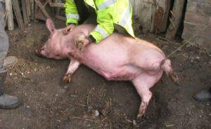 Свинью необходимо привязать и положить на бок