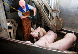 Электрошок нередко применяют для убоя свиней