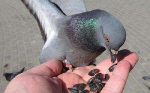 Лакомство для голубей