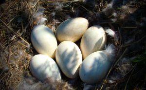 Гусиные яйца в гнезде