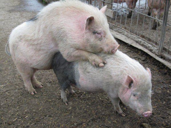 Половой акт у свиней