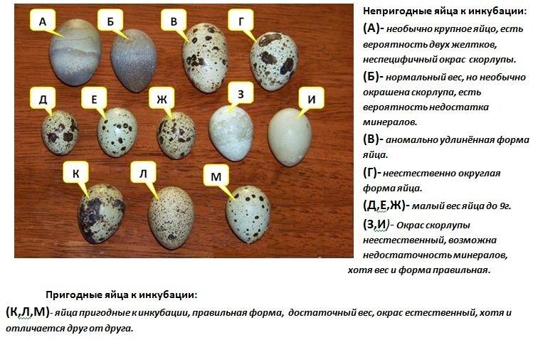 Какие яйца подходят для инкубации