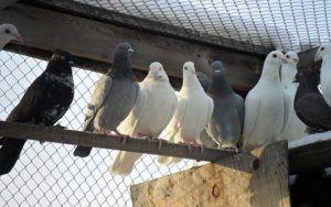 Содержание голубей в птичнике