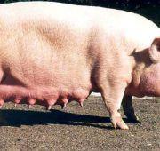 Внешний вид беременной свиньи